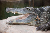 Nile Crocodile Head Closeup — Stock Photo