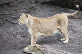 Female Lion Looking for Prey — Stock Photo