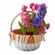 Three hyacinths in a white basket — 图库照片