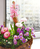 Hyacinth and Primrose in the spring sun-lit basket — Stock Photo