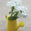 Bouquet of white phloxes in a watering-can on a canvas backgroun - Stock Photo