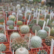 Many little cactuses — Stock Photo #12407627