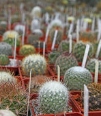 Many little cactuses are with tallies — Stock Photo