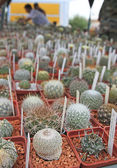 Many little cactuses — Stock Photo