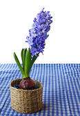 En vacker hyacint i en korg — Stockfoto