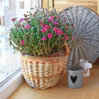 Stock Photo: Lilac chrysanthemum in a basket on a balcony