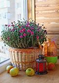 Rosa chrysanthemum dekoration av balkongen — Stockfoto