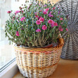 Beautiful lilac chrysanthemum in a basket on a balcony — Stock Photo