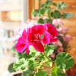 Stock Photo: Pink and red pelargonium on window