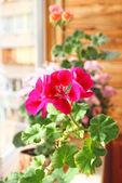 Rosa und rote geranien am fenster — Stockfoto