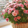Beautiful lilac chrysanthemum in a basket — Stock Photo
