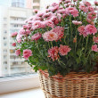 Beautiful lilac chrysanthemum in a basket on a balcony — Stock Photo #13439136