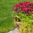 Bush of chrysanthemums in basket on lawn — Stock Photo #13439151