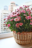 Beau chrysanthème lila dans un panier sur un balcon — Photo