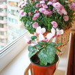 Постер, плакат: Beautiful cyclamen in a basket