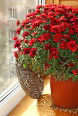 Red chrysanthemum on a balcony — Stock Photo
