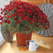 Stock Photo: Red chrysanthemum on balcony by sun day
