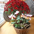 Постер, плакат: Red chrysanthemum and cyclamens on a balcony