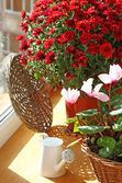 Red chrysanthemum and cyclamens on a balcony by a sun day — Stock Photo