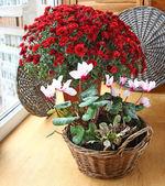 Červená chrysanthemum a cyclamens na balkóně — Stock fotografie