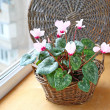 Cyclamen flowers on a window in balcony — Stock Photo
