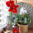 Composition from cyclamen and hippeastrum. Eve of Advent — Stock Photo #14784269
