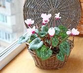 Cyclamen flowers on a window in balcony — Stock Photo