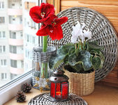 Hippeastrum and cyclamen flowers on a window. Advend — Stock Photo