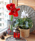 Composition from a cyclamen and hippeastrum. Eve of Advent — Stock Photo