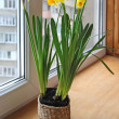 Narcissuses on a window — Stock Photo