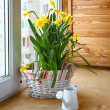 Basket with daffodils and white watering can - Stock Photo