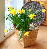 Basket with daffodils on the balcony window. — Stock Photo