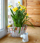 Basket with daffodils and white watering can — Stock Photo