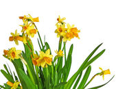 Tender narcissuses on a white background — Stock Photo