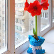 Red hippeastrum on window — Stock Photo