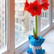 Red hippeastrum on window — Stock Photo