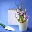 White crocuses and shovel on a dark blue background - Stock Photo