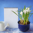 White crocuses on a dark blue background - Stock Photo