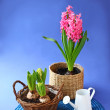 Pink hyacinth and watering-can on a dark blue background — Stock Photo