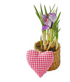 Crocus flower in pot and heart isolated — Stock Photo