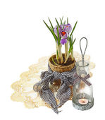 "Flowerings striped crocuses ""Pickwick"" and vintage lamps-candle — Stockfoto"
