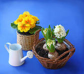 Yellow primrose and hyacinth, and garden tools on a blue backgro — Stock Photo