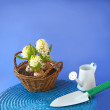 Royalty-Free Stock Photo: White hyacinths and and garden tools on a blue background
