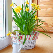Basket with narciss and white watering can — Stock Photo
