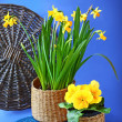 Blooming spring yellow flowers in a basket on blue background — Stock Photo