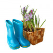 Постер, плакат: Crocuses in a basket gloves and boots on a white background