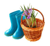 Child's little blue rubber gumboots and crocus in basket — Stock Photo