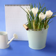 White crocuses and watering-can on a indigo  background - Stock Photo
