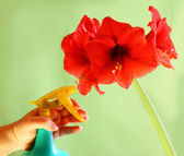 A hand sprinkling red amaryllis (hippeastrum) — Stock Photo
