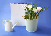 White crocuses and watering-can on a indigo background — Stock Photo